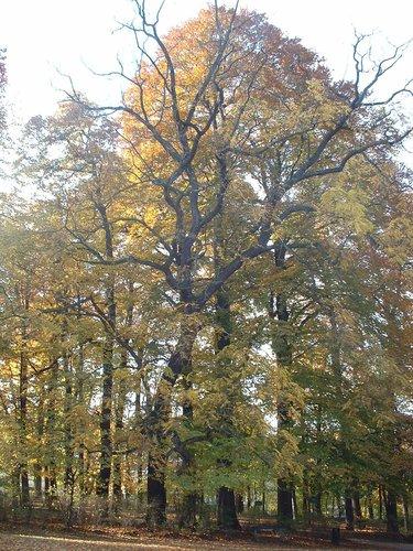 Noyer noir – Uccle, Parc de Wolvendael, parc –  05 Novembre 2003