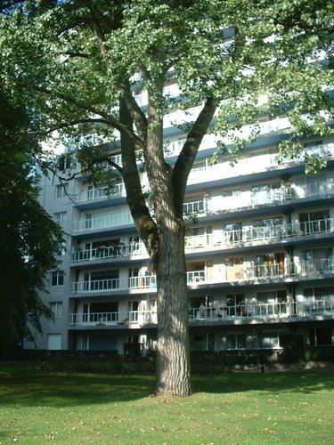 Populus x canadensis 'Serotina'<br>Auderghem Rue des Pêcheries, 105