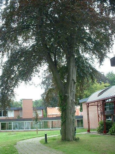 Hêtre d'Europe – Watermael-Boitsfort, Parc du Collège Saint-Hubert, Avenue Charle-Albert, 9 –  23 Juillet 2002