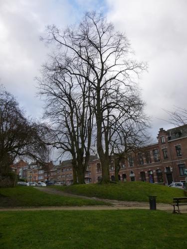 Tilleul commun – Watermael-Boitsfort, Abords de l'église Saint-Clément, Rue du Loutrier –  01 Janvier 2001