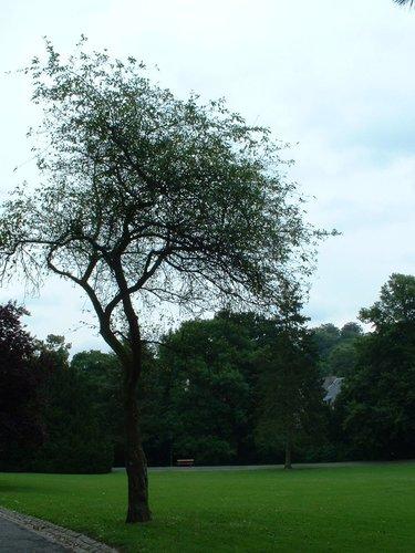 Malus tschonoskii – Watermael-Boitsfort, Parc du Jagersveld, Avenue Delleur –  23 Juillet 2002