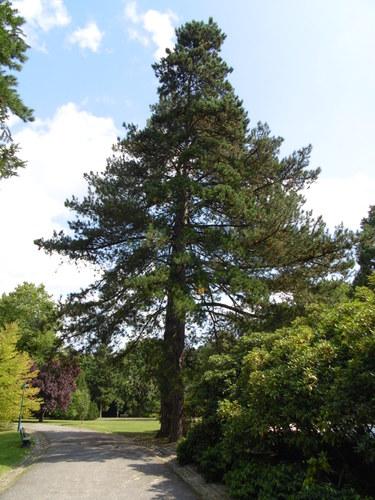 Pin noir – Watermael-Boitsfort, Parc du Jagersveld, Avenue Delleur –  23 Juillet 2002