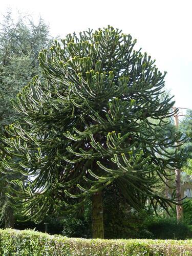 Araucaria du Chili – Watermael-Boitsfort, Avenue des Princes Brabançons, 21 –  20 Août 2013