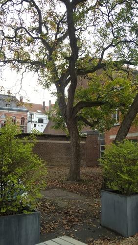 Noyer royal – Anderlecht, Ecole vétérinaire de Cureghem –  08 Octobre 2015
