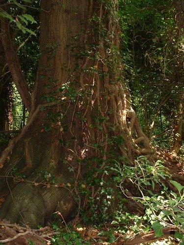 Chêne rouge d'Amérique – Watermael-Boitsfort, Parc privé de l'Institut royal des Sciences naturelles de Belgique et chemin des Chablis, Chemin des Chablis, 4 –  17 Juillet 2002