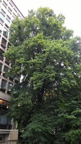 Tilleul à larges feuilles – Watermael-Boitsfort, Chaussée de La Hulpe, 181 –  12 Juillet 2017