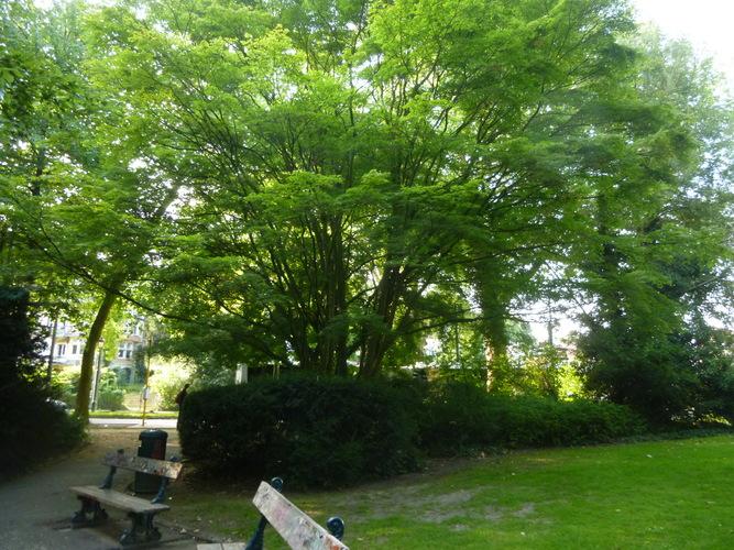 Erable palmé – Watermael-Boitsfort, Parc du Leybeek –  06 Août 2015