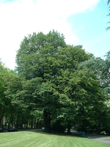 Carpinus betulus var. incisa – Watermael-Boitsfort, Parc Tenreuken, Boulevard du Souverain –  19 Juillet 2002