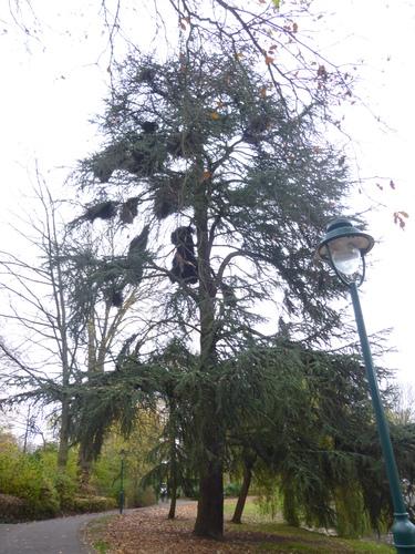 Cèdre du Liban – Watermael-Boitsfort, Parc Tenreuken, Boulevard du Souverain –  04 Novembre 2015