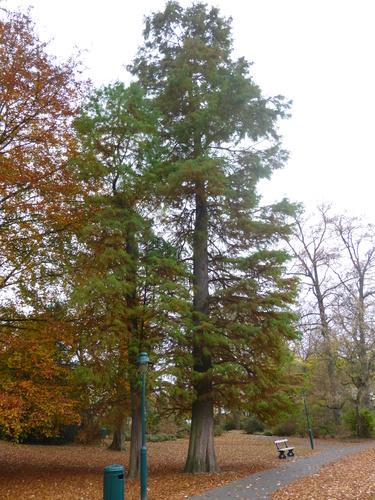 Cyprès chauve de Louisiane – Watermael-Boitsfort, Parc Tenreuken, Boulevard du Souverain –  04 Octobre 2015