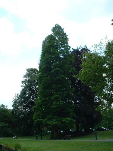 Cyprès chauve de Louisiane – Watermael-Boitsfort, Parc Tenreuken, Boulevard du Souverain –  19 Juillet 2002