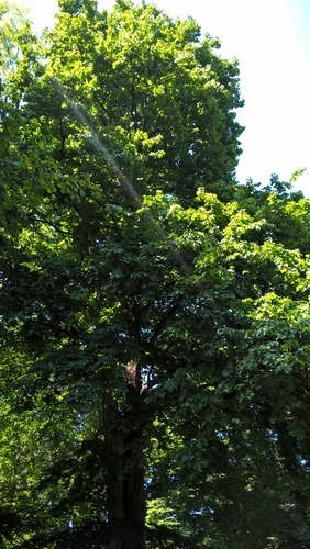 Noisetier de Byzance – Watermael-Boitsfort, Parc Tournay - Solvay –  18 Juillet 2017