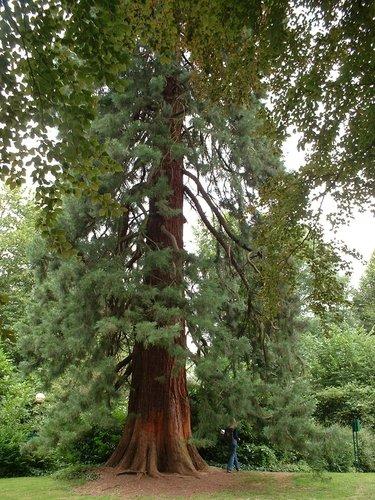 Sequoia géant – Watermael-Boitsfort, Parc Tournay - Solvay, Chaussée de La Hulpe –  26 Juillet 2002