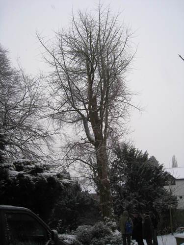 Arbre aux quarante écus – Woluwé-Saint-Lambert, Propriété Voot, Rue Voot, 67 –  13 Janvier 2010