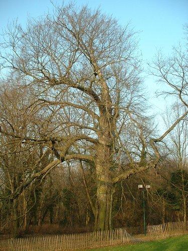 Hêtre pourpre – Woluwé-Saint-Lambert, Parc Malou, Chaussée de Stockel, 45 –  11 Février 2003