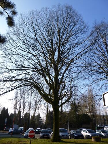 Tilleul argenté – Woluwé-Saint-Lambert, Avenue des Vaillants –  21 Février 2013