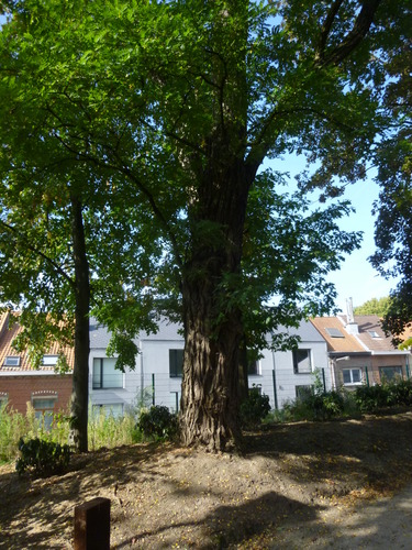Robinier faux-acacia – Woluwé-Saint-Pierre, Propriété Crousse –  01 Octobre 2014