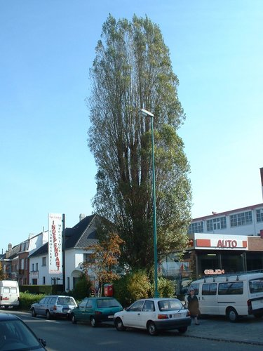 Peuplier d'Italie – Woluwé-Saint-Pierre, Avenue Grandchamp, 27 –  10 Octobre 2002