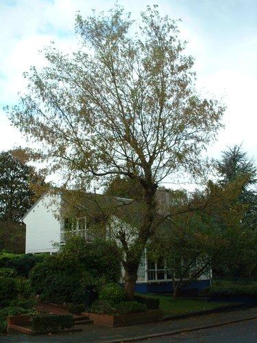 Erable à feuilles de frêne – Woluwé-Saint-Pierre, Avenue des Touristes, 75 –  17 Octobre 2002