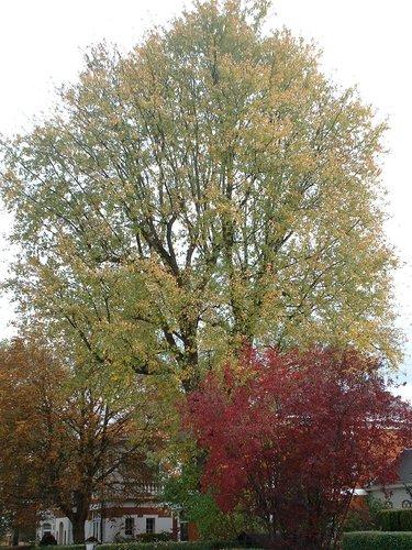 Witte esdoorn – St.- Pieters - Woluwe, Schroeflaan, 29 –  23 Oktober 2002