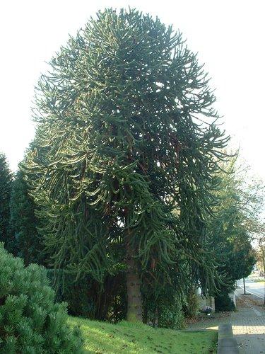 Araucaria du Chili – Woluwé-Saint-Pierre, Avenue du Manoir d'Anjou, 1 –  06 Novembre 2002