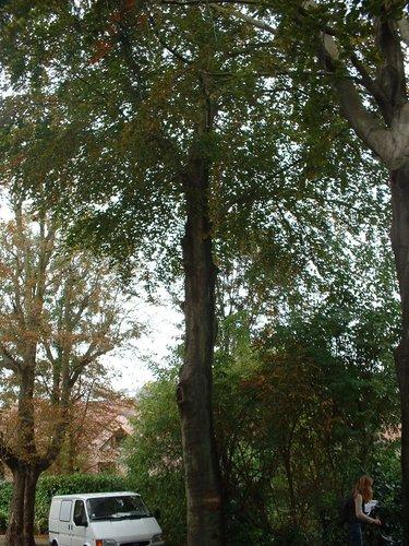 Hêtre pourpre – Woluwé-Saint-Pierre, Drève de Nivelles, 28 –  08 Octobre 2002