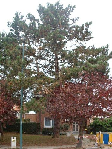 Pin noir – Woluwé-Saint-Pierre, Avenue des Dames Blanches, 40 –  29 Octobre 2002