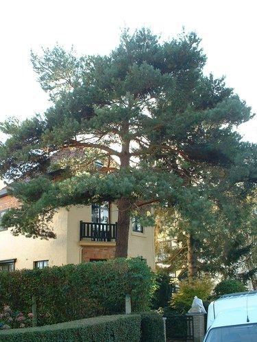 Pin sylvestre – Woluwé-Saint-Pierre, Avenue Joseph Van Genegen, 21 –  23 Octobre 2002
