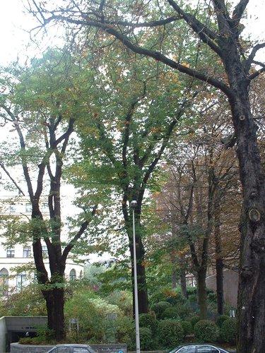 Chêne rouge d'Amérique – Woluwé-Saint-Pierre, Avenue de Tervueren, 268a –  03 Octobre 2002