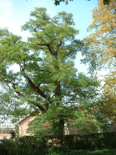Robinier faux-acacia – Woluwé-Saint-Pierre, Drève de Nivelles, 28a –  08 Octobre 2002