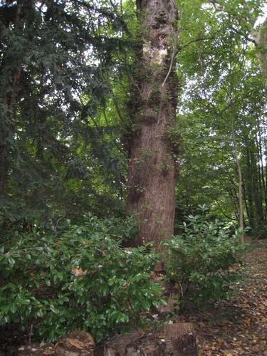 Witte esdoorn – St.- Pieters - Woluwe, Park van het Manoir d'Anjou, parc privé –  27 September 2007