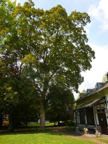 Acer pseudoplatanus 'Purpurascens' – St.- Pieters - Woluwe, Parmentierpark –  14 Mei 2014