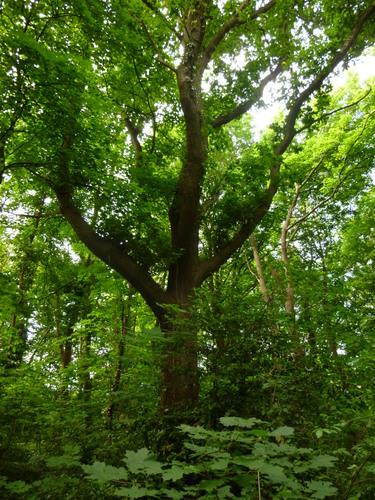 Chêne pédonculé – Woluwé-Saint-Pierre, Parc Parmentier –  20 Mai 2014