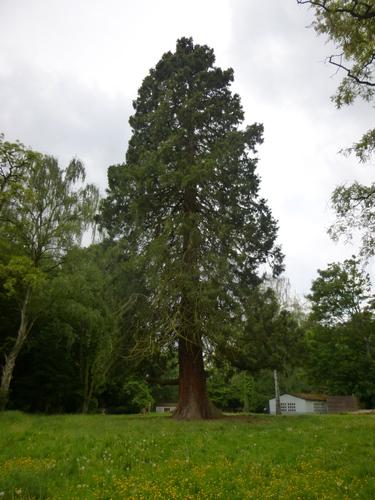 Sequoia géant – Woluwé-Saint-Pierre, Parc Parmentier –  14 Mai 2014