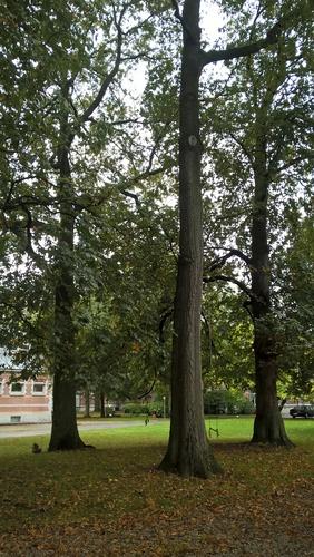 Chêne à cupules chevelues – Anderlecht, Ecole vétérinaire de Cureghem –  08 Octobre 2015