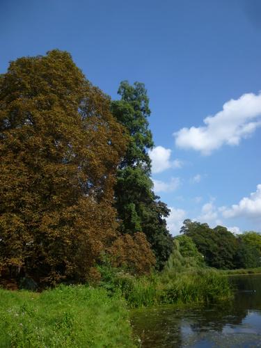 Italiaanse Hartbladige els – St.- Pieters - Woluwe, Park van Woluwe –  16 September 2014