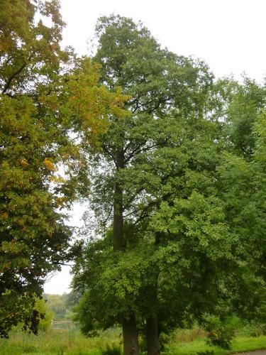 Aulne à feuilles cordées – Woluwé-Saint-Pierre, Parc de Woluwe –  08 Septembre 2014