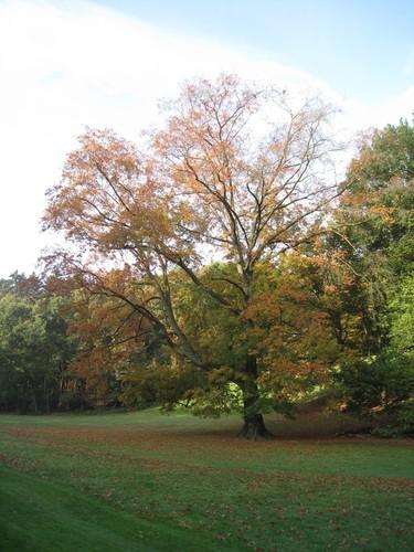 Chêne des marais<br>Woluwé-Saint-Pierre Parc de Woluwe