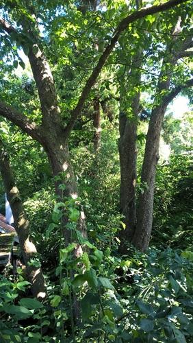 Arbre aux mouchoirs – Auderghem, Jardin  Massart –  04 Juillet 2019