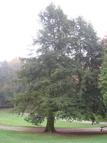 Tsuga du Canada<br>Woluwé-Saint-Pierre Parc de Woluwe