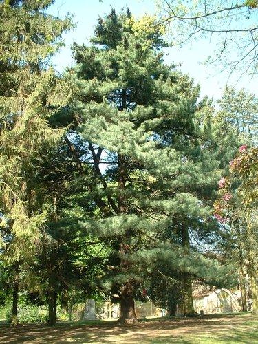 Pin arolle – Anderlecht, Parc Astrid, parc –  17 Avril 2003