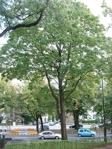 Erable plane – Auderghem, Boulevard du Souverain –  28 Septembre 2005