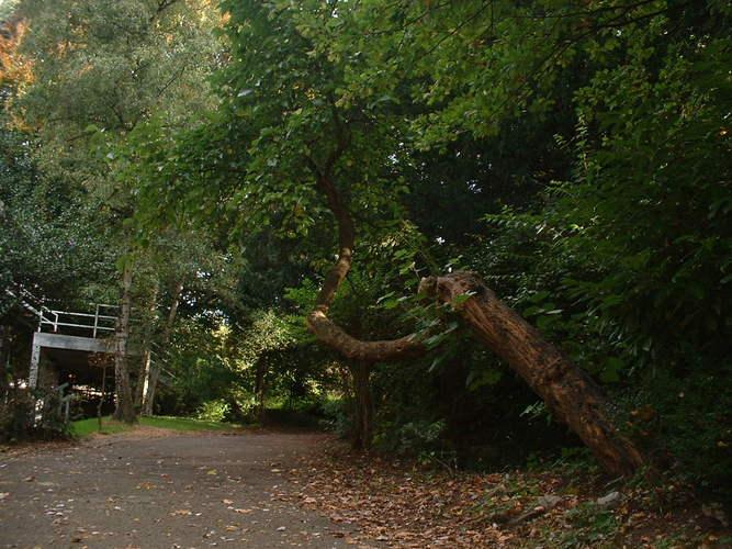 Mûrier noir – Forest, Avenue de Haveskercke, 25 –  27 Septembre 2005