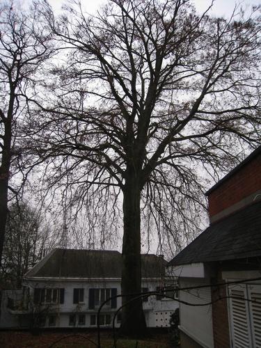 Hêtre d'Europe – Forest, Avenue de Haveskercke, 78/84 –  19 Novembre 2008