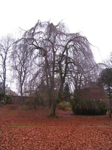 Hêtre pleureur – Forest, Avenue de Haveskercke, 78/84 –  19 Novembre 2008