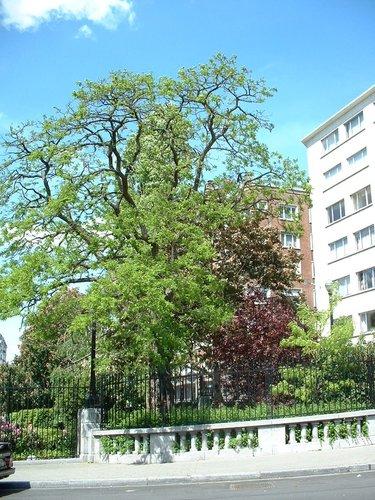 Robinier faux-acacia – Saint-Josse-Ten-Noode, Square Armand Steurs, Square Armand Steurs –  13 Mai 2002