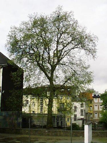Gewone plataan – Sint-Joost-Ten-Node, Poststraat, 51 –  02 Mei 2002