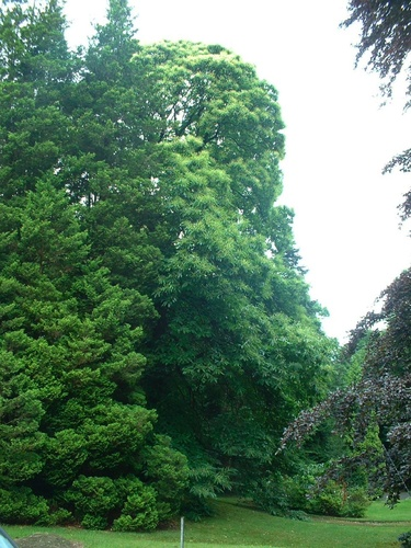 Châtaignier – Uccle, Avenue de la Petite Espinette, 16 –  21 Juin 2007