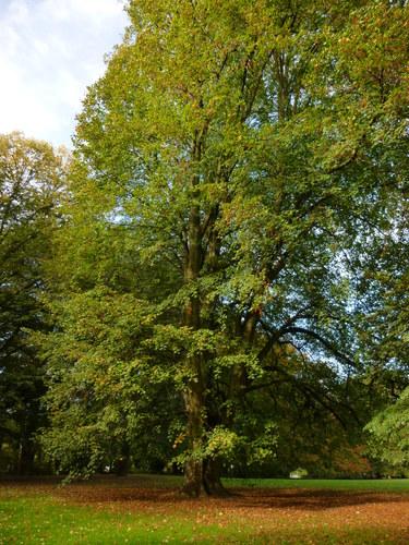 Tilleul à larges feuilles – Anderlecht, Parc Astrid –  31 Octobre 2014
