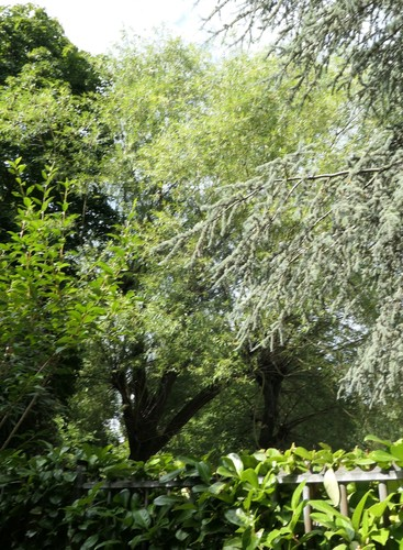 Salix sp – Evere, Rue de la Marne, 5 –  06 Août 2019